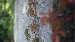 Red grape vine branch climbs brick wall Stock Footage