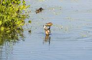 Wood Duck limbering up Stock Photos