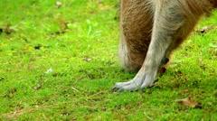 Capybara (Hydrochoerus hydrochaeris) Stock Footage