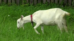 Goat grazing on the lawn in the village. Stock Footage