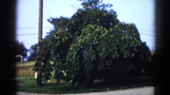 1962: full blooming green apple tree in front yard CHICAGOLAND AREA Stock Footage