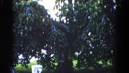 1962: a tree with green leaf in the middle of a ground CHICAGOLAND AREA Stock Footage