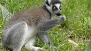 Ring-tailed lemur (Lemur catta) Stock Footage