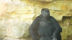Western lowland gorilla Stock Footage