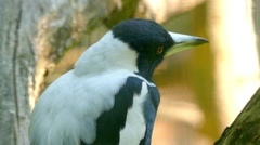 Australian magpie (Cracticus tibicen) Stock Footage