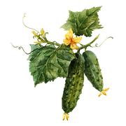 Watercolor cucumber branch Stock Illustration