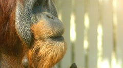 Sumatran orangutan (Pongo abelii) Stock Footage