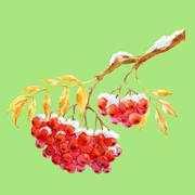 Branch of ashberry Stock Illustration