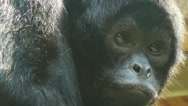 Brown-headed spider monkey (Ateles fusciceps Stock Footage