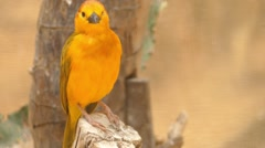 Taveta weaver (Ploceus castaneiceps) Stock Footage
