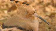 Hoopoe (Upupa epops) is a colourful bird Stock Footage