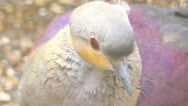 Crested quail-dove (Geotrygon versicolor) Stock Footage