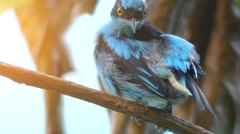 Black-faced dacnis (Dacnis lineata) Stock Footage