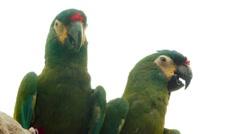 Blue-winged macaw (Primolius maracana) Stock Footage
