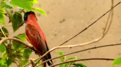 Northern carmine bee-eater Stock Footage