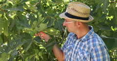 Figs Orchard Quality Check European Farmer Man Examining Exotic Fruit Plantation Stock Footage