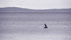 One bird sitting on a stone in a lake. Stock Footage