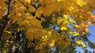 Autumn cityscapes. Falling leaves, wilting greens, Stock Footage