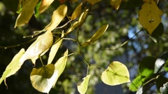 Leaves of linden Stock Footage