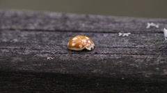 Yellow beetle with white spots jumps in front of the camera Stock Footage