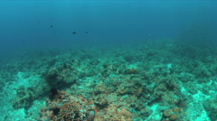 4k Coral reef with healthy hard corals and a school of Brarracudas Stock Footage