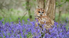 Tawny Owl (Strix aluco) Sitting in a Bluebell Wood Stock Footage