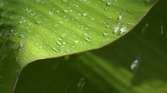 Slow motion Close up of rain drop on to banana leaf Stock Footage