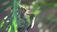 Olive-backed sunbird moving into the nest Stock Footage