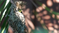 Olive-backed sunbird rest in the nest Stock Footage