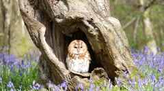 Tawny Owl (Strix aluco) Sitting in Tree Hollow in a Bluebell Wood Stock Footage