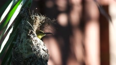 Olive-backed sunbird try to hind in the nest Stock Footage