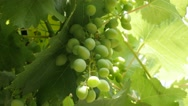 Organic wine grapes on the vine green  fruit background 4K 2160p 30fps UltraH Stock Footage