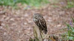 Little Owl ( Athene noctua  ) Close up Stock Footage