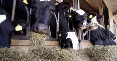 Cows eating food at the stable Stock Footage