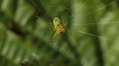 Green and yellow spider sitting in the net in the wind Stock Footage