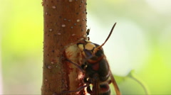 Hornet (Vespa crabro) eating saw on a tree with a few ants Stock Footage