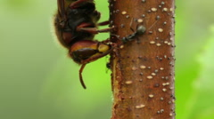 Hornet (Vespa crabro) eating saw on a tree Stock Footage