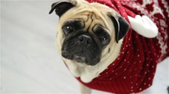 Dog of breed a pug in a reindeer suit. The clever animal looks in the camera sad Stock Footage