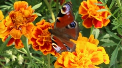 Peacock eye on the marigolds Stock Footage