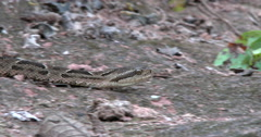 Mattogrosso Lancehead Viper-4K- closeup moving, Bolivia Stock Footage