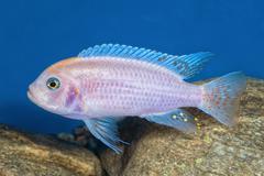 Portrait of cichlid fish (Maylandia zebra) in aquarium Stock Photos