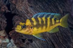 Portrait of cichlid fish (Pseudotropheus crabro) in aquarium Stock Photos
