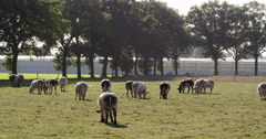 Meadow with double-muscled cows, Europe Stock Footage