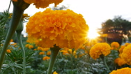 4K : Beautiful Marigold flowers in the field during sunset with sunlight Stock Footage