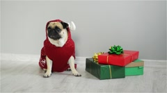 Pet sitting next to the gifts in bright packaging. Cute doggy of breed a pug is Stock Footage