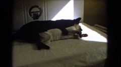 1966: cat siblings having fun hugging and grooming each other CATALINA Stock Footage