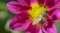 Big fly on dahlia flower, macro Stock Footage