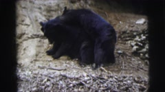 1962: just having fun: two black bear siblings wresting on the side of hill Stock Footage