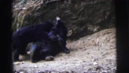 1962: couple bears play around in the woods with each other in front of a cave Stock Footage