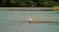 Roseate spoonbill in marsh Stock Footage